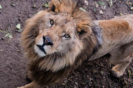 Lion in a poor condition