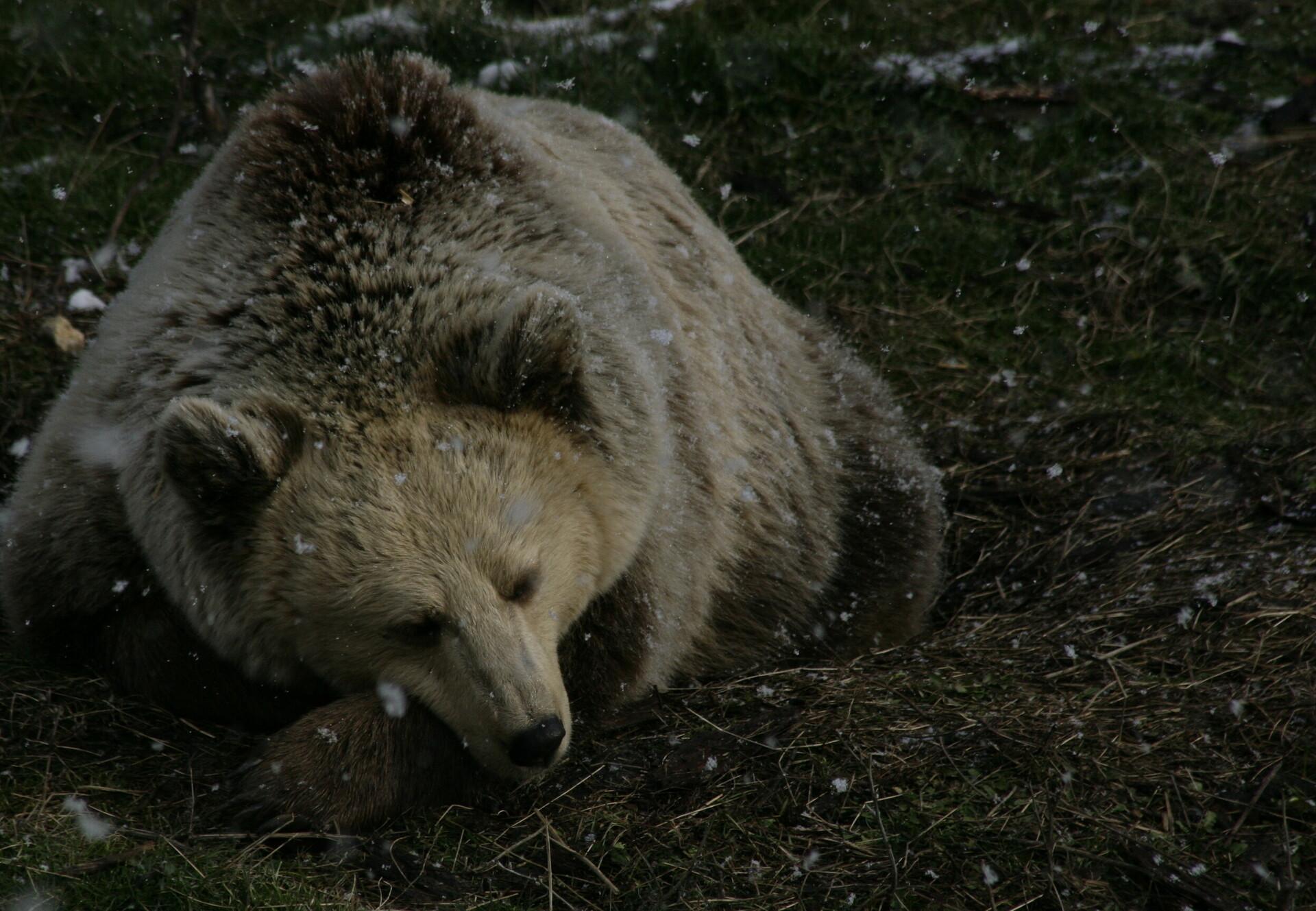 Bears sitting in snow