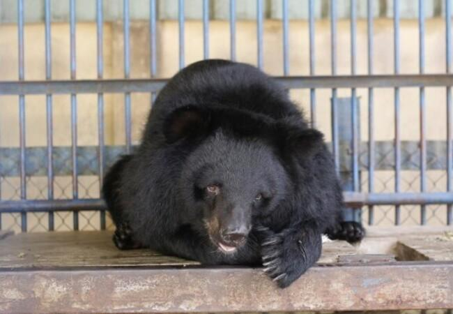 La triste vie des ours en captivité au Vietnam