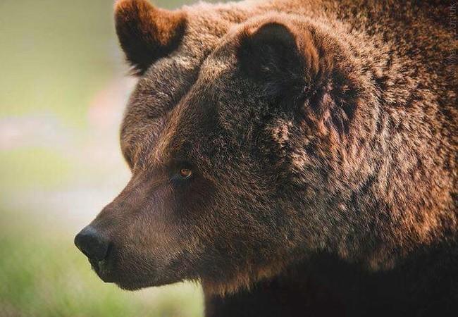 Bear Julia