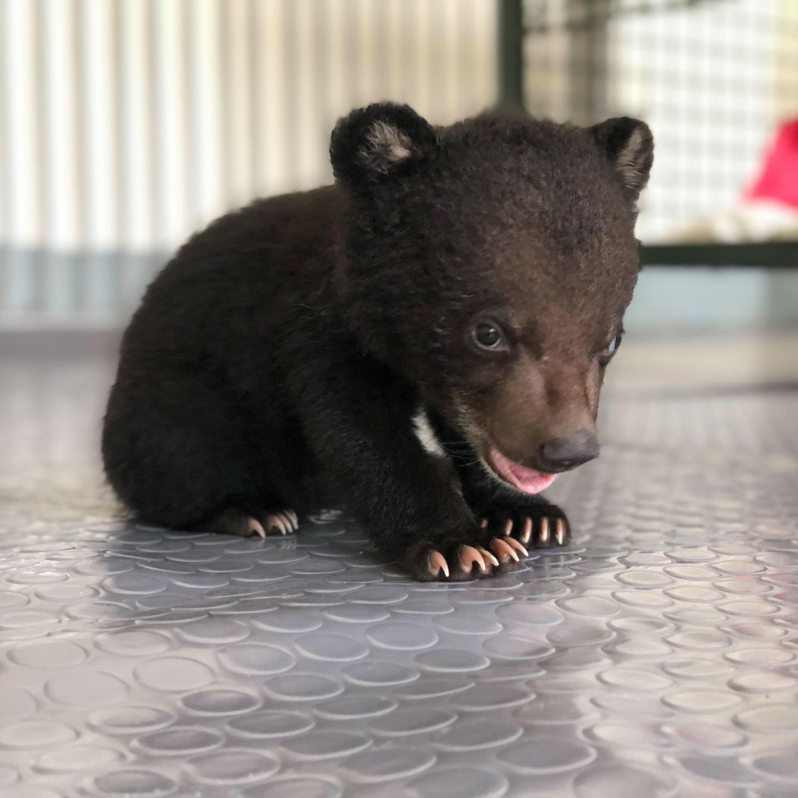 Bären-Baby in Vietnam