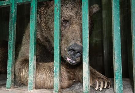 Ein Braunbär wartet hinter Gittern auf seine Befreiung