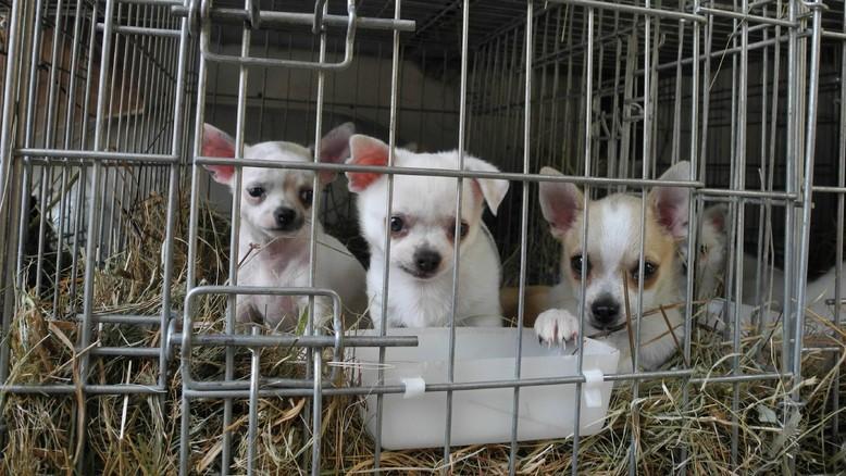 Търговия с кученца