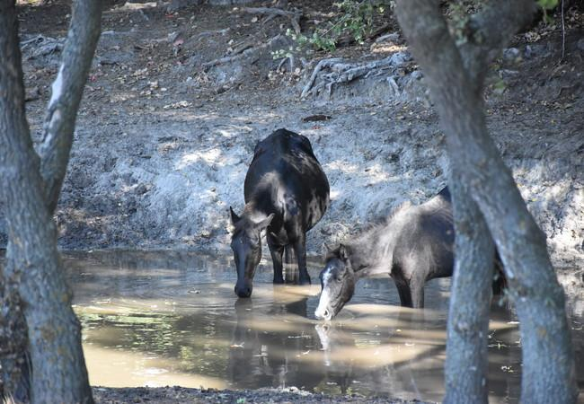 Wild horses stop for a drink in the Danube Delta