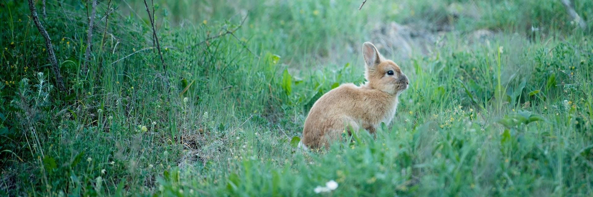 Wild rabbit at BEAR SANCTUARY Prishtina.