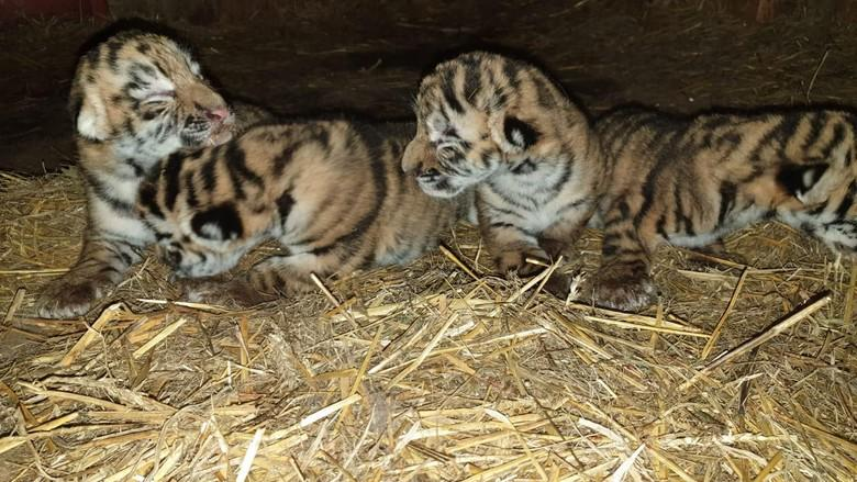 Tiger cubs in breeding farm