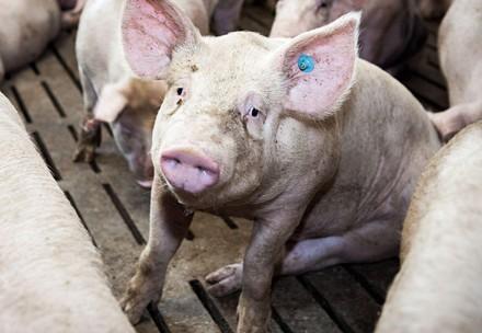 Schweine auf Vollspalten