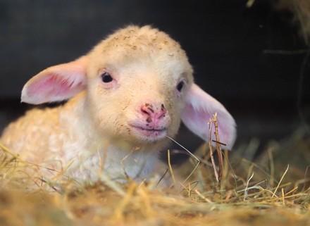 Lamb Tombi