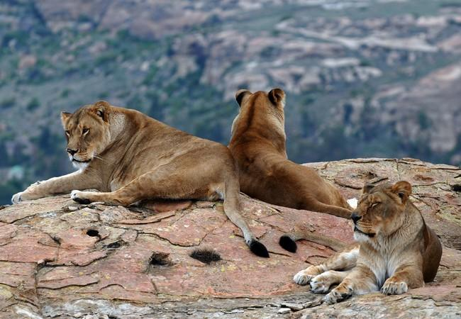 One day after their transfer to South Africa, the lionnesses have settled in at LIONSROCK