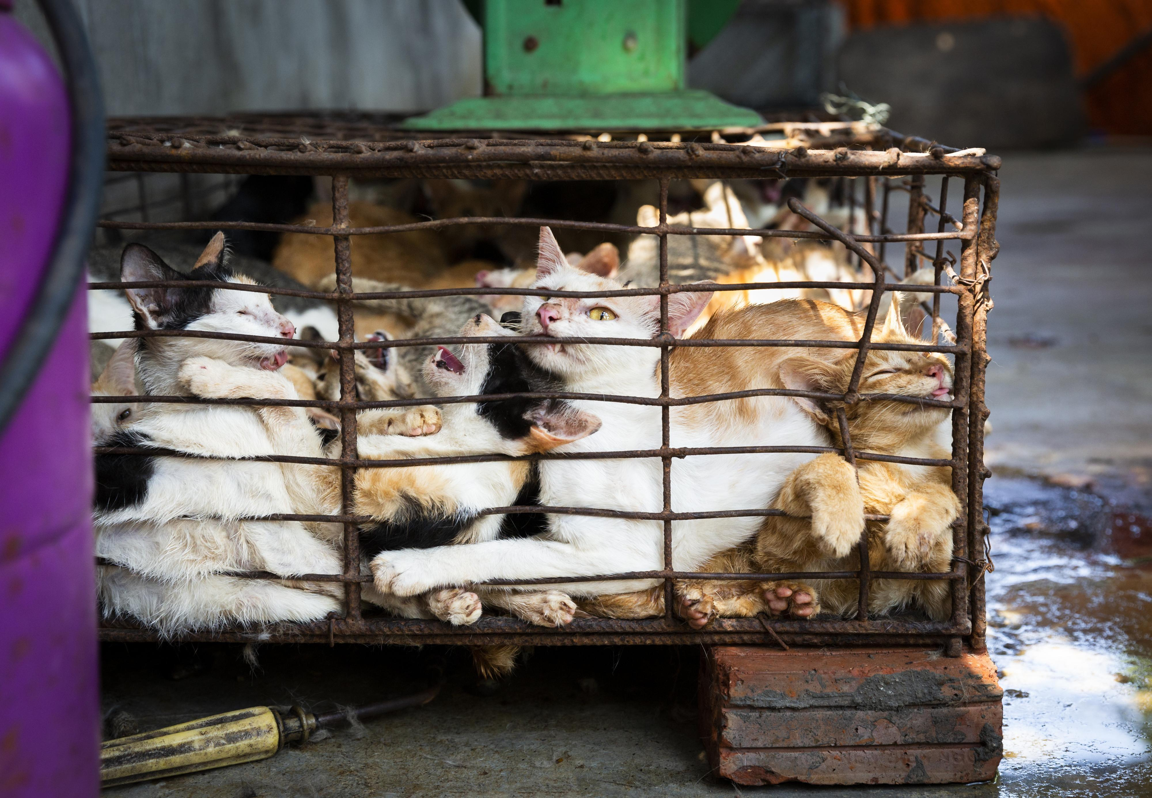 The cat meat trade in Vietnam