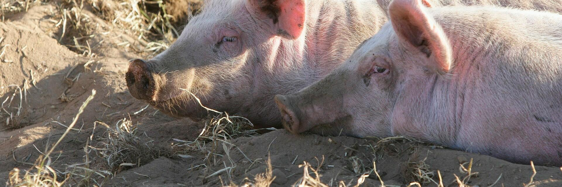 Happy Pigs in the sunshine