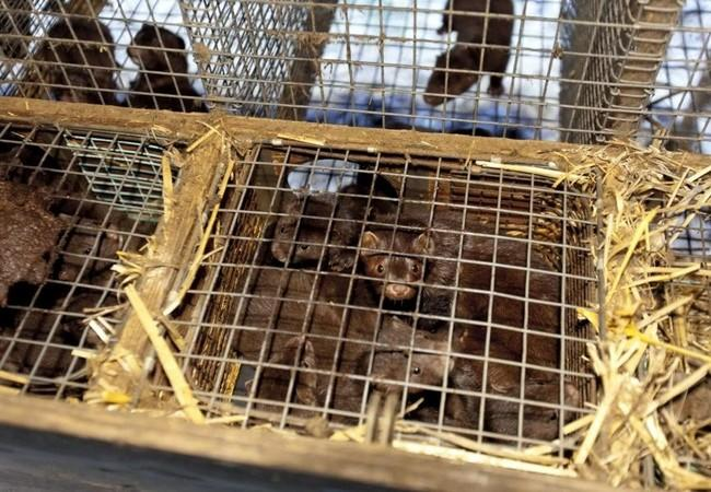 Multiple mink in cage