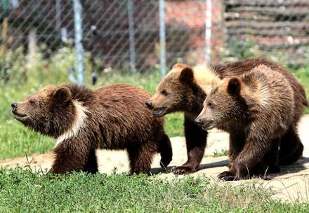 Bears Jenny, Tobi and Moris at BEAR SANCTUARY Domazhyr