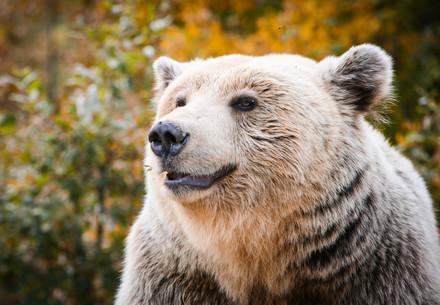 Brown Bear Kassandra