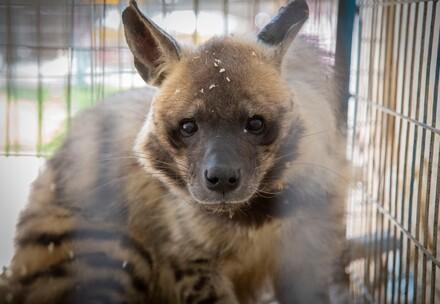 Hyäne aus Zoo in Gaza