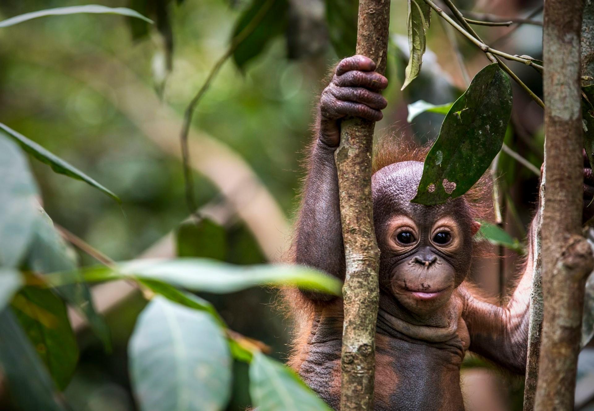 Orang-Utan klettert an einem Ast im Wald