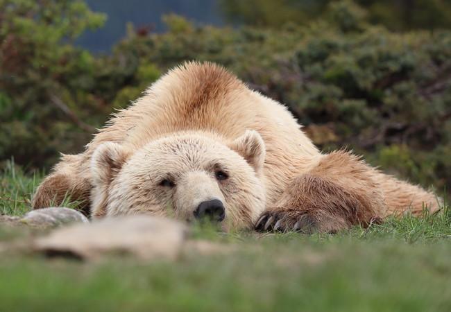 Bear Napa sleeping, 2020