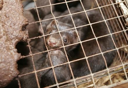 Mink at a fur farm
