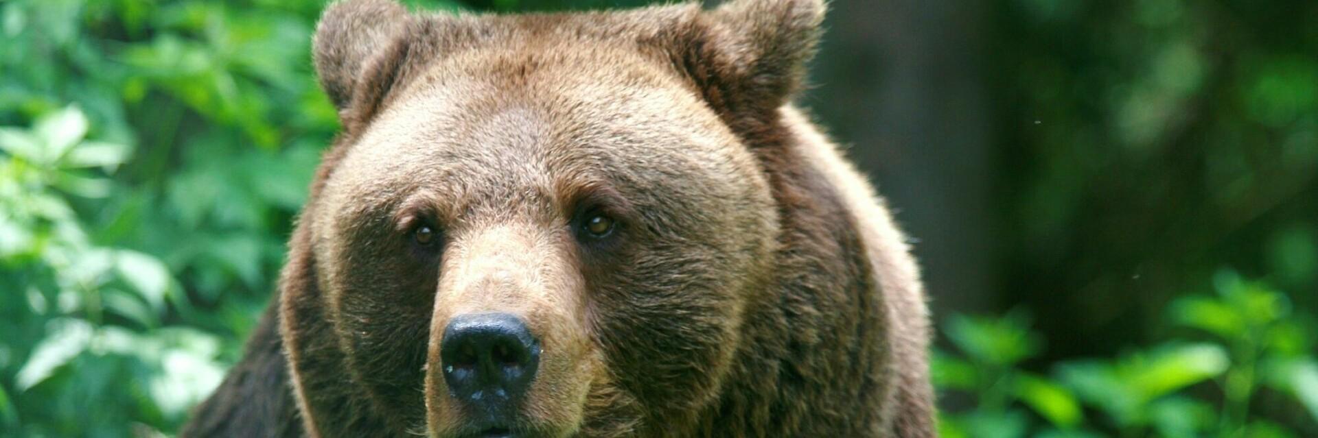 Кафява мечка в гората