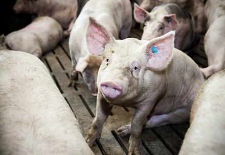Das Leiden der Schweine