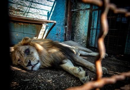 Suffering lion