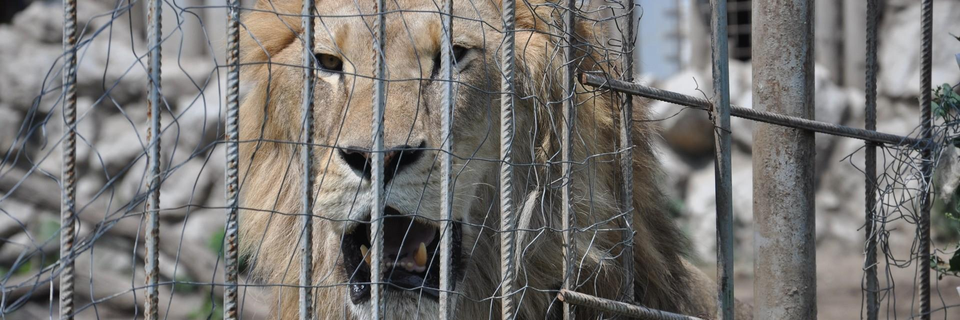 help rescue lion Simba and 6 siblings