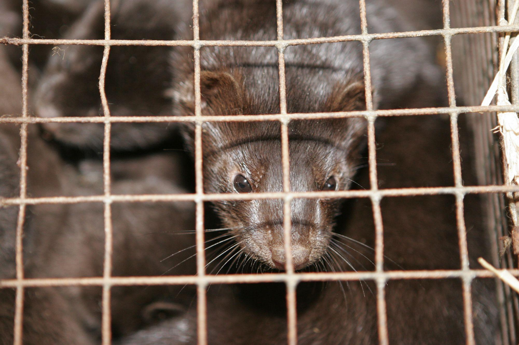 Mink in fur farm