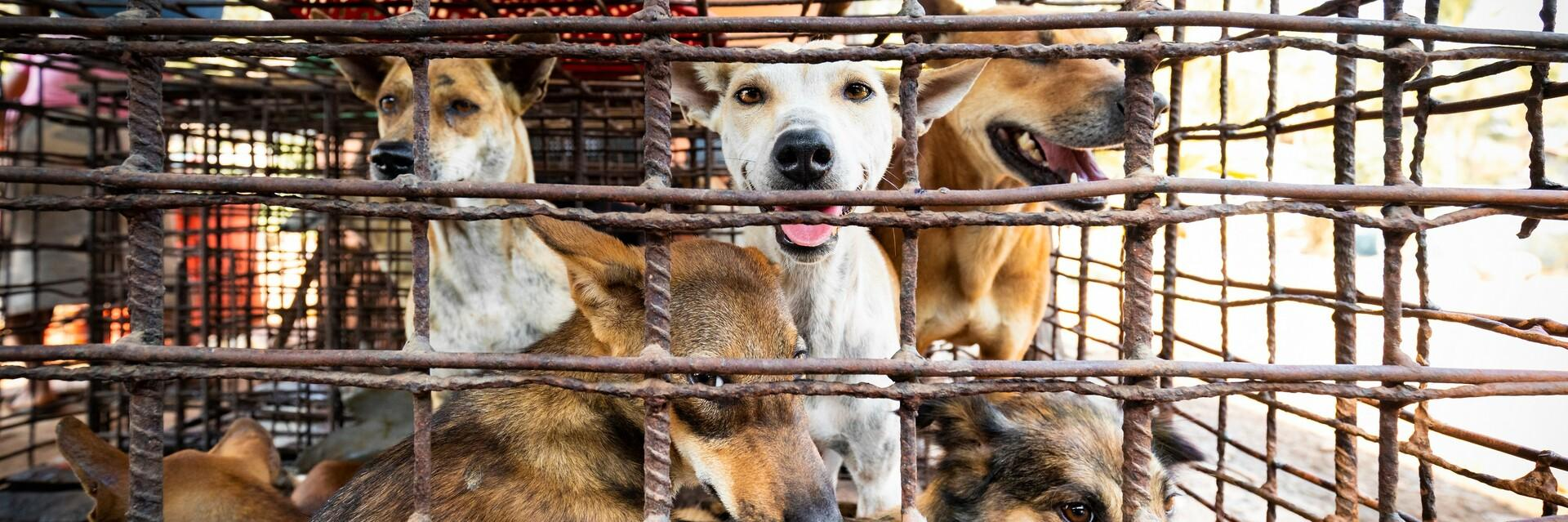 Dogs in a slaughterhouse in Cambodia