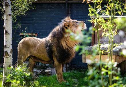 Leeuw Zhaku