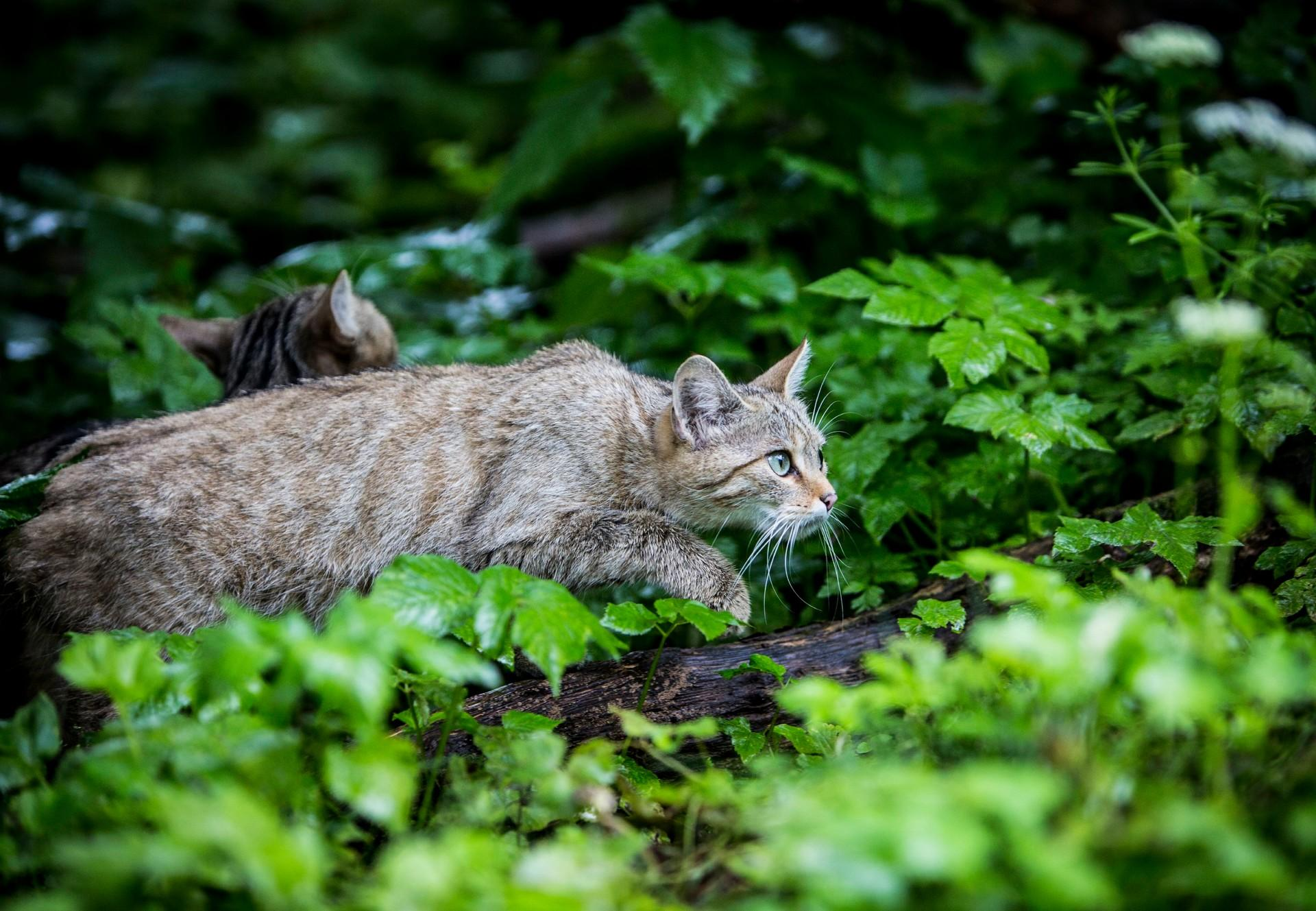 Europäische Wildkatzen bei TIERART