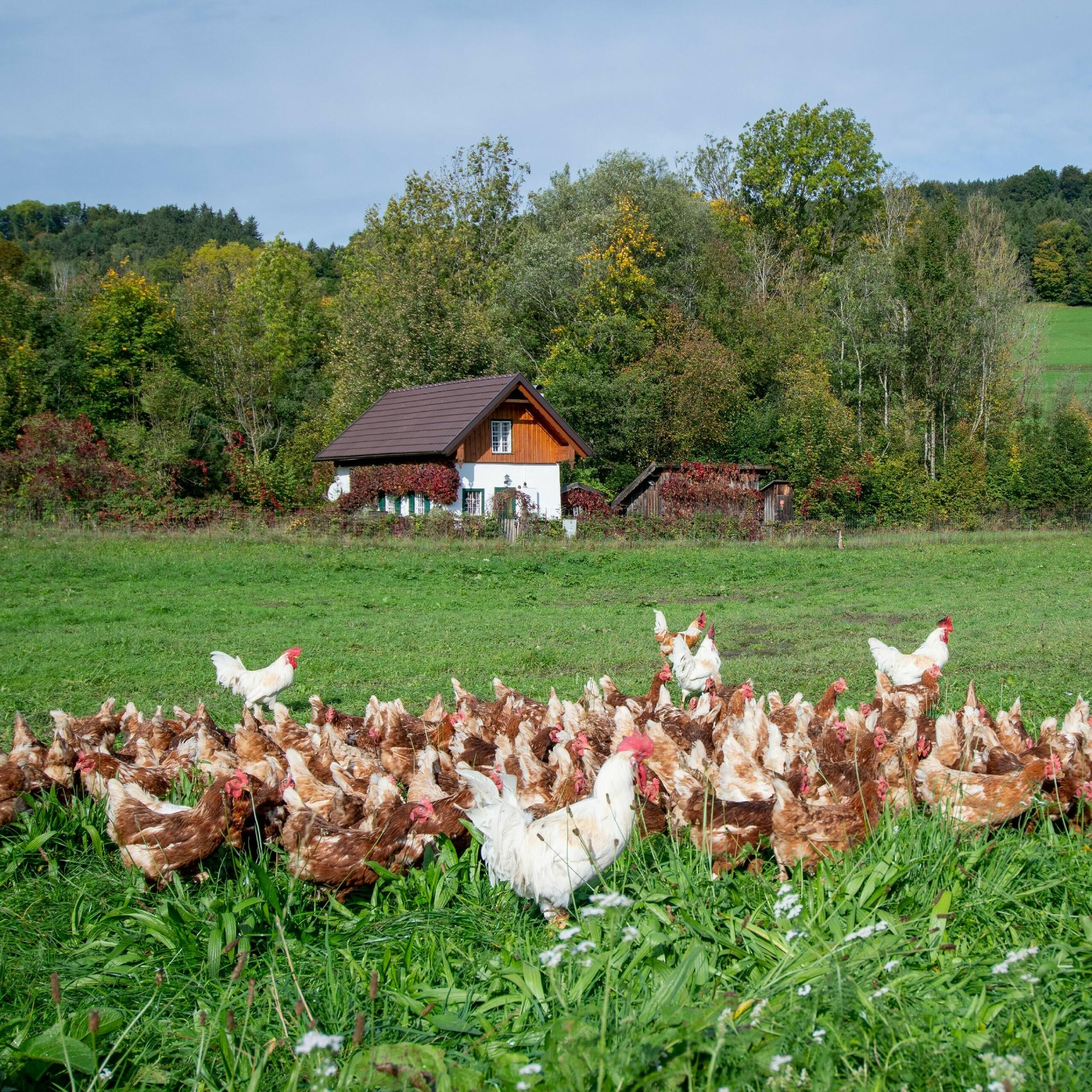 Legehennen mit Hähnen in Freilandhaltung in Österreich