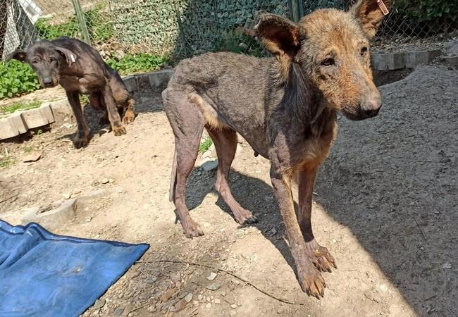 Dog Kara, emaciated and starving