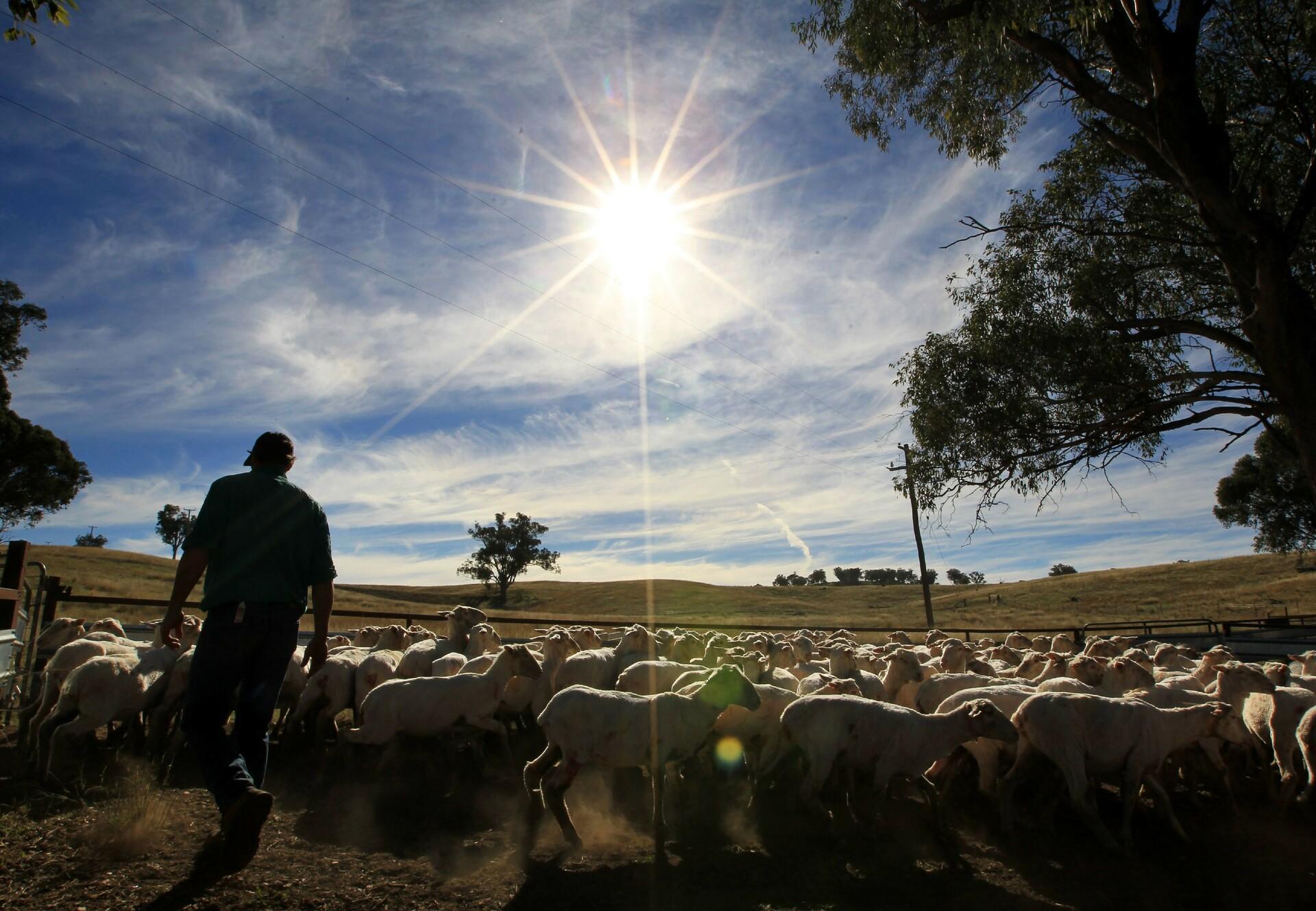 Schafherde in Australien