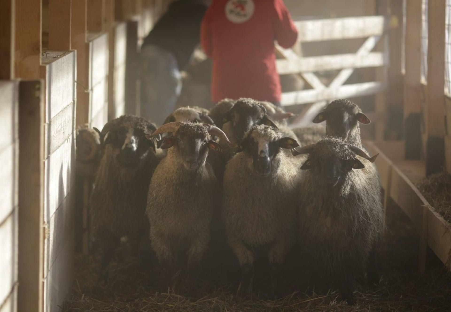 Rescued sheep arrive at new home