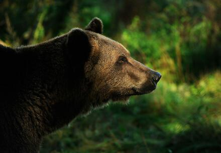 Bear Michal