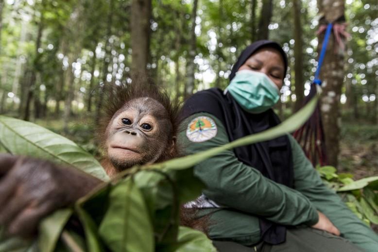 Orphan orangutan Gonda with caregiver Ipeh