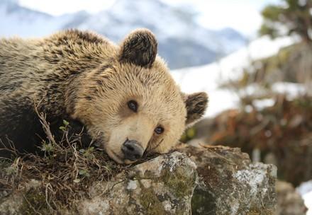 Bär Amelia im Arosa Bärenland