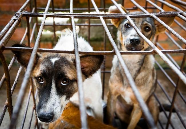 Chiens sauvés du trafic de viande de chien
