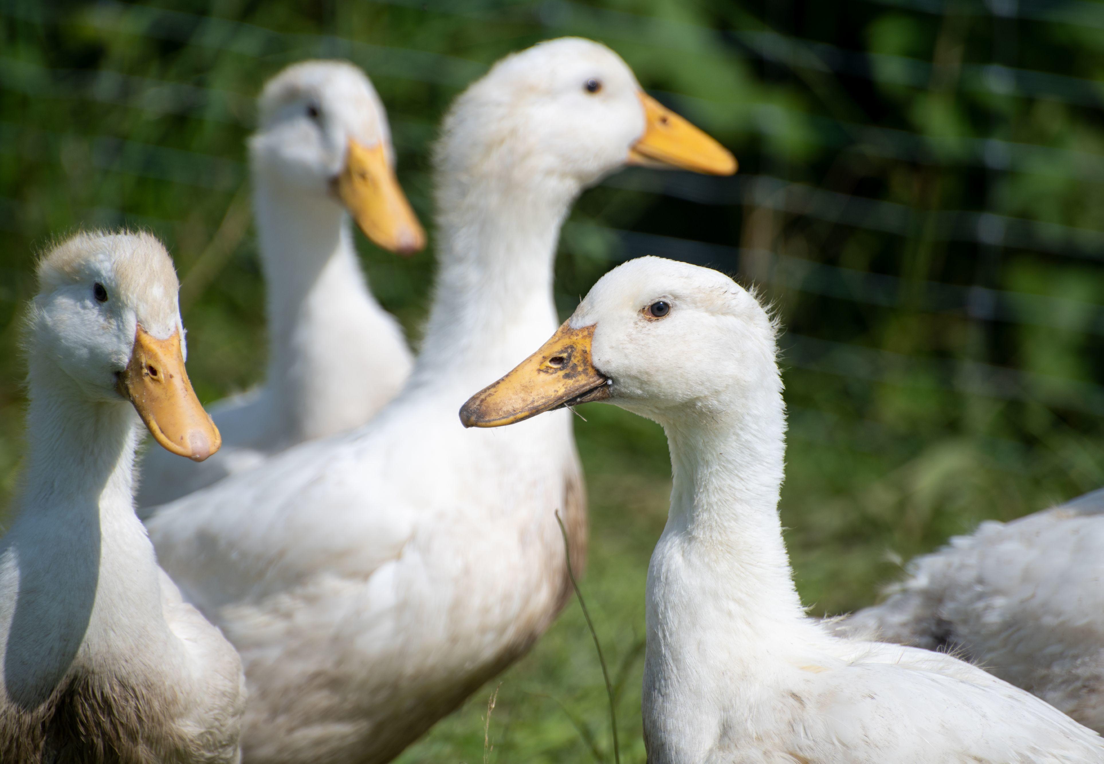 """Enten mit Freilauf bei """"Tierschutz-kontrolliert"""""""