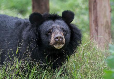 Bärin Nin Nho im Bärenschutzzentrum Ninh Binh