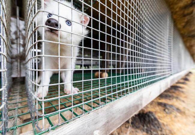 Un animal souffre pour la fourrure