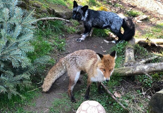 Foxes Jackson and Porthos