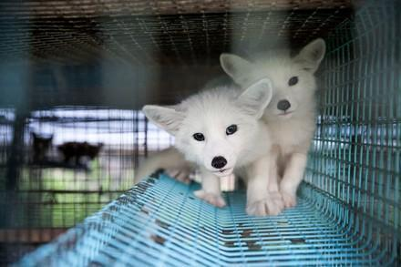 Fur farming foxes
