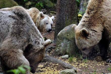 Dites stop à la chasse illimitée aux ours en Roumanie