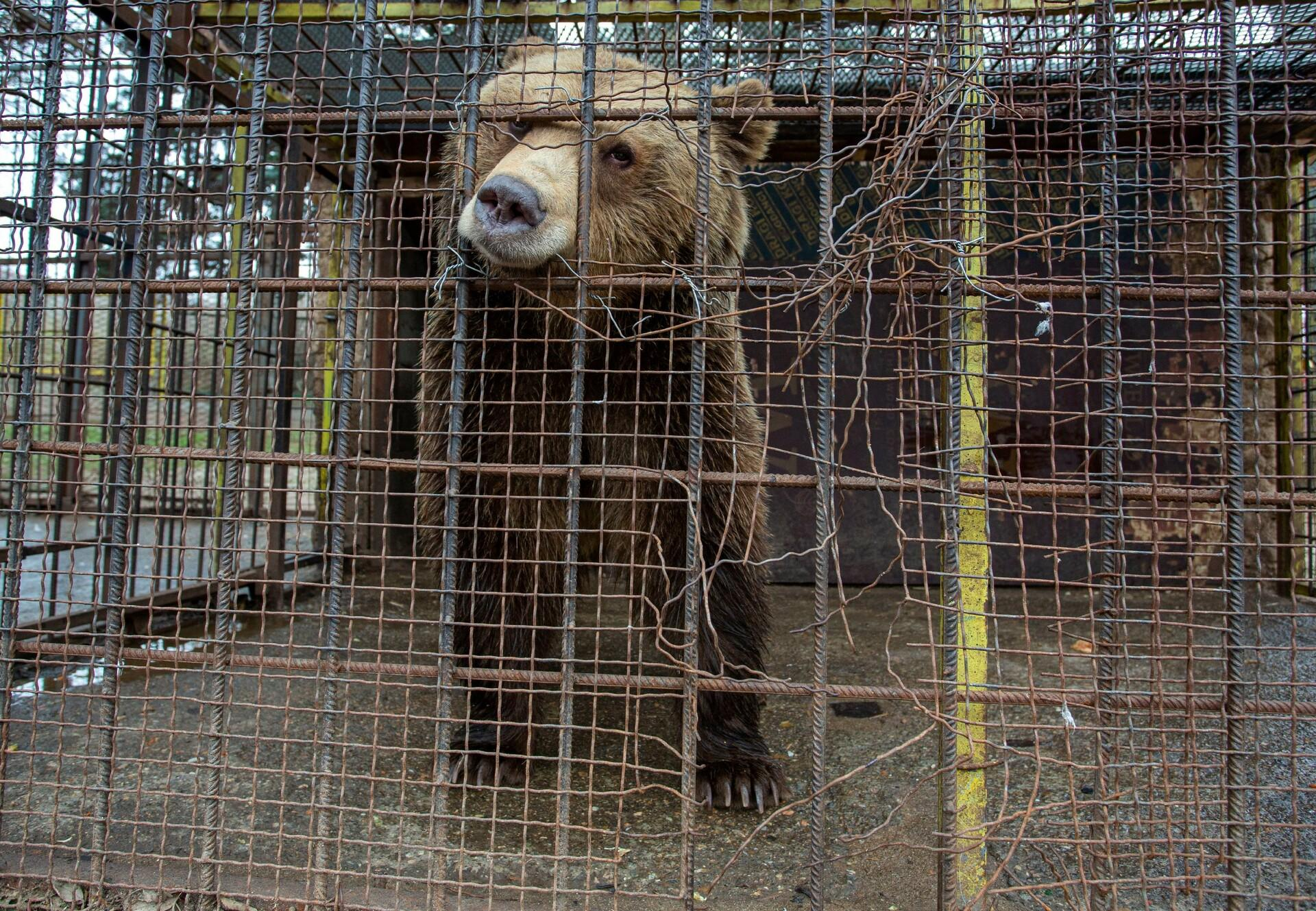 Bear Teddy in a tiny cage