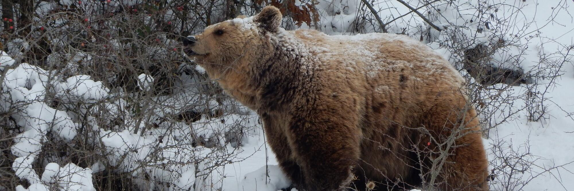 Bears in the winter snow