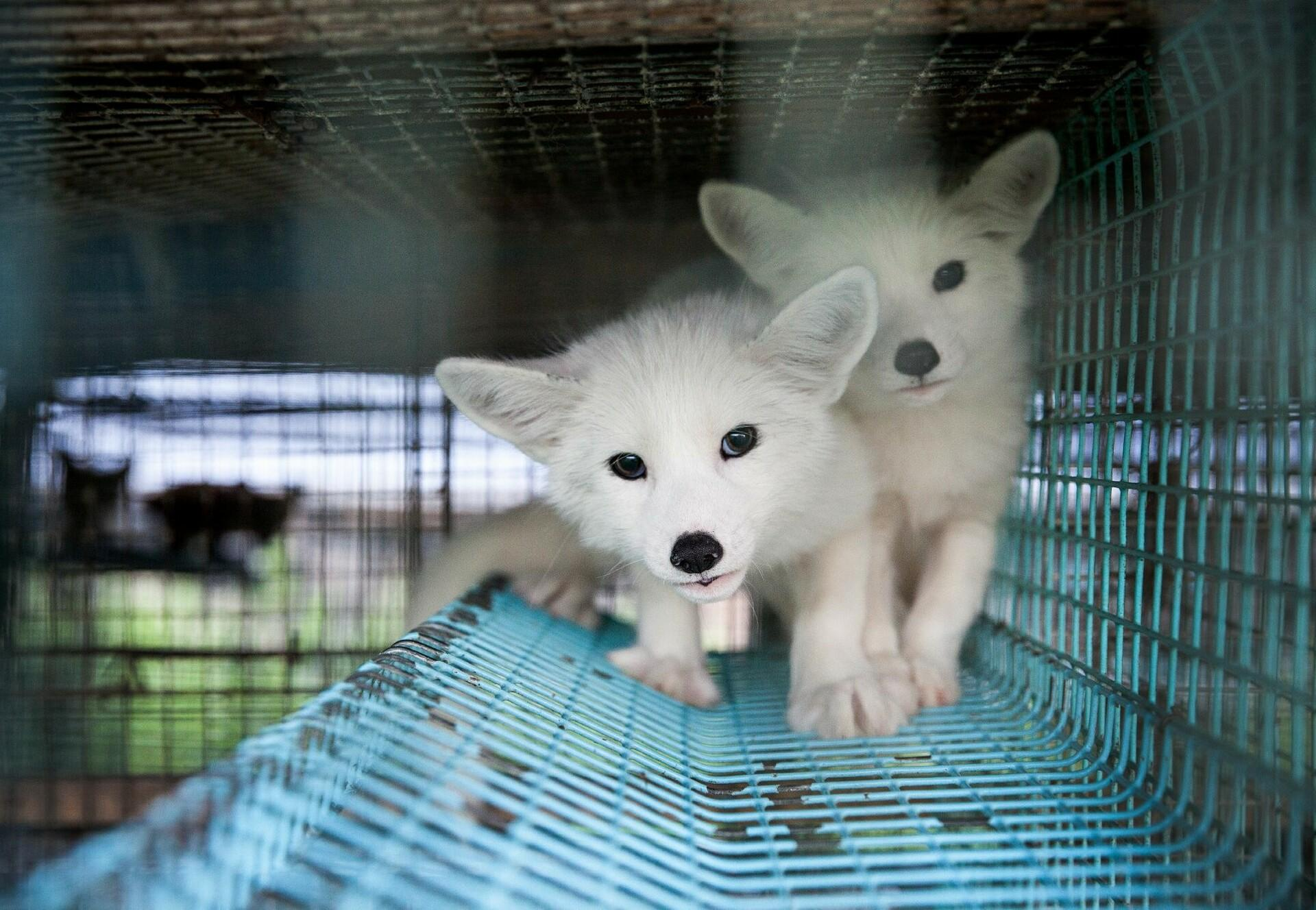 Foxes caged in a fur farm