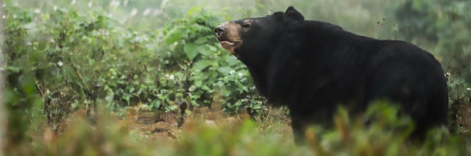 Asiatic black bear in BEAR SANCTUARY Ninh Binh