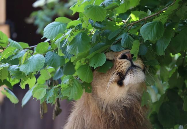Lion Masoud enjoys the greenery