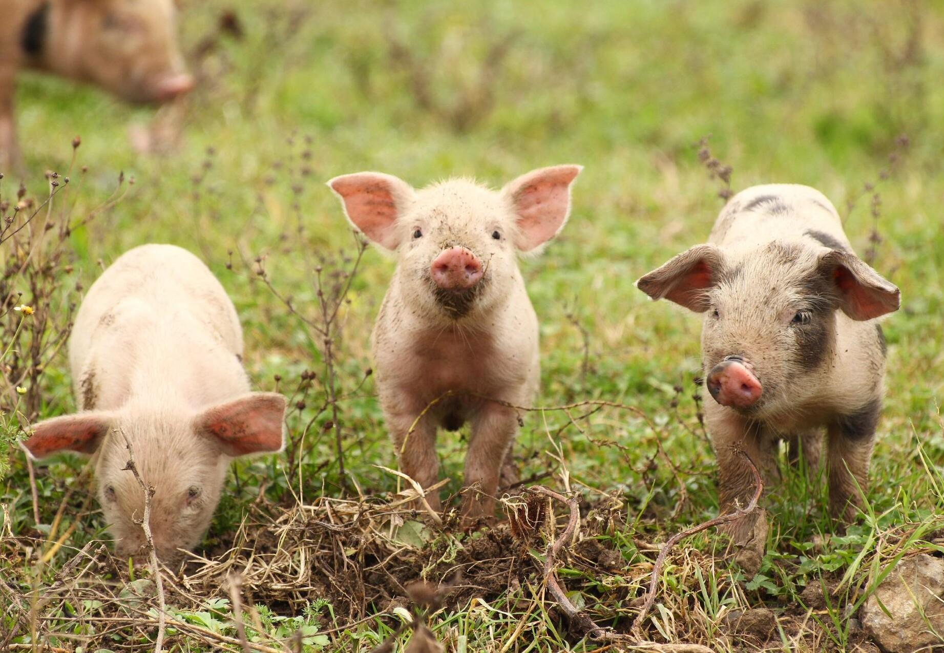 10 facts about pigs - Farm Animals - Topics - Campaigns & Topics - FOUR  PAWS in US